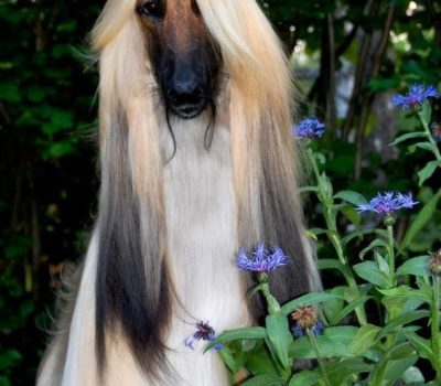 Afghan Hound,commercial,advertising