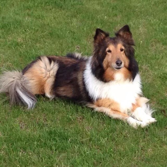 Shetland Sheepdog,ears, Sheltie,tipped ears