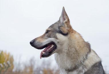 Czechoslovakian Vlcak,CSV,Czechoslovakian Wolfdog,
