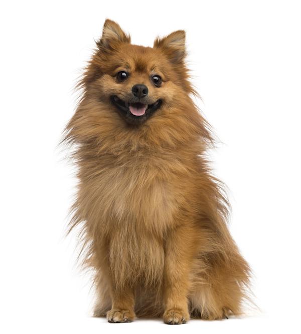 German Spitz,Pomeranian,Keeshond,Mistbeller, dunghill barker,Torfhund