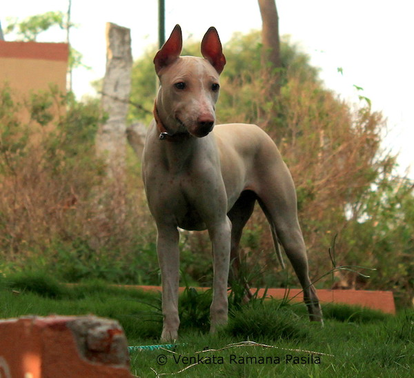 Jonangi,herding dog,