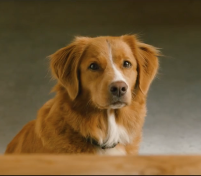 Nova Scotia Duck Tolling Retriever,Purdey,TV, advertising, commercial