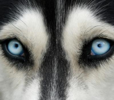 Siberian Husky,eyes,