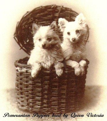 Pomeranian,Queen Charlotte, Queen Victoria, size