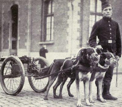 Mâtin Belge,Belgian Mastiff, Belgian draft dog,