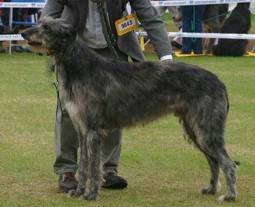 Scottish Deerhound,Harry Potter,Patronus,