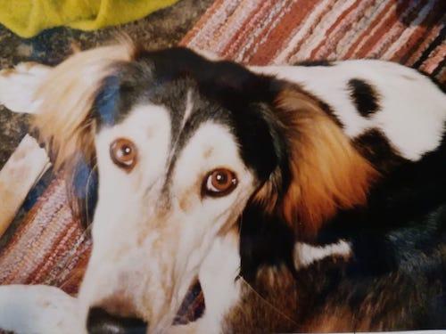 Saluki, Arabian Hound,Persian Sighthound, Gazelle Hound, Persian Greyhound,Tanji, Kiss of Allah,marking,