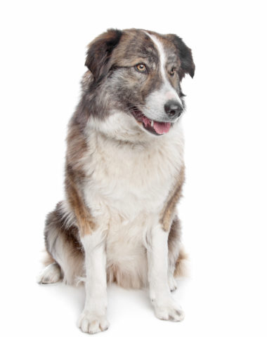 Atlas Mountain Dog,Aidi,Chien De Montagne De L'Atlas, Atlas Berghund, Perro De Montana Del Atlas, LGD,Berber Dog,