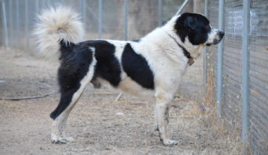 Greek Shepherd,Greek Mastiff, Greek Sheepdog,Hellenikos Poimenikos,Olympus Dog