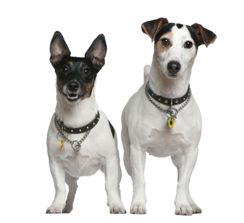 Irish,terrier,language,brocaire,Jack Russell Terriers