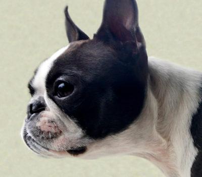 Boston Terrier, Dog World, National Dog Week, William Judy, Dog Writer's Association of America