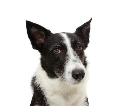 Border Collie, stock dog, herding dog