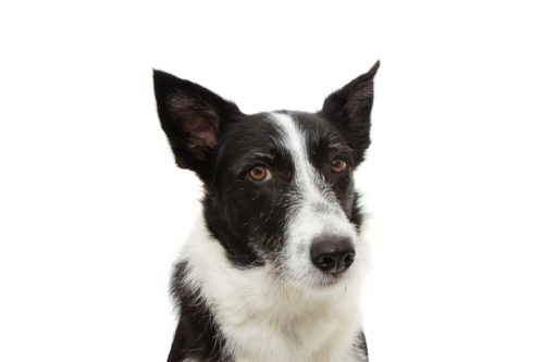 Border Collie, stock dog, herding dog