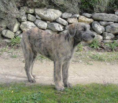 Mastino Fonnese,Cane di Fonni, Fonnese Mastiff, Fonnese shepherd, Fonnesu Antigu Dog,Sardinian Shepherd Dog