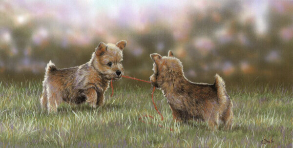 "Norfolk Terrier,Norwich Terrier, Cantab Terrier,Trumpington Terrier,Jones Terrier,Cantabrigian,Cantabrigia,Frank ""Roughrider"" Jones"