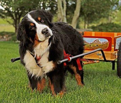 Bernese Mountain Dog,cart pulling, draft dog, Albert Heim