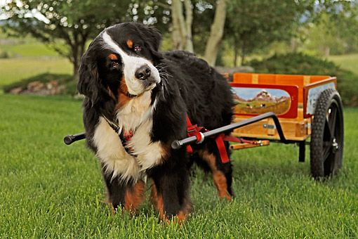 Bernese Mountain Dog,cart pulling, draft dog, Albert Heim