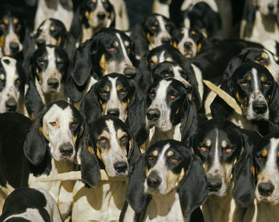 Order dog,Chien d'Ordre,Poitevin,Billy, French tricolor, French White and Black, French white and orange, English Foxhound, Great Anglo-French tricolor, Great Anglo French White and Black, Great Anglo-French white and orange,American Foxhound