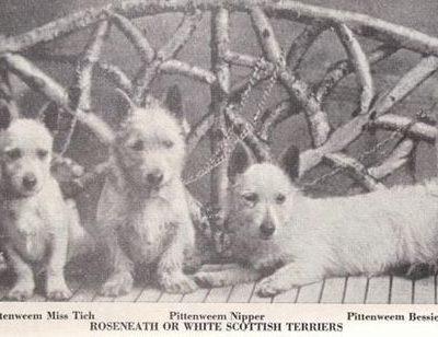 West Highland White Terrier,Roseneath Terrier,Pittenweem Terriers,