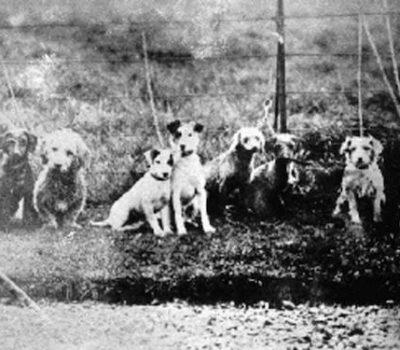 Glen of Imaal Terrier, Irish Glen, Wicklow Terrier,Marquess of Conyngham, Dan