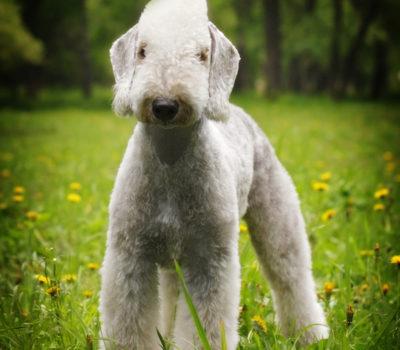Bedlington Terrier,front,V-front,horseshoe front,Robert W. Cole