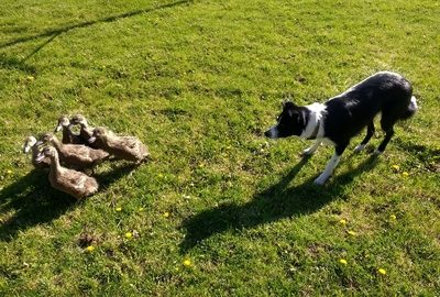 Border Terrier,Herding, Rocky, first