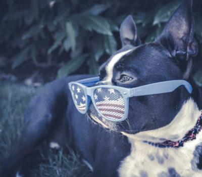Boston Terrier, Rhett, mascot, Boston University,