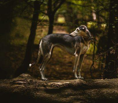 Chart Polski, Polish Greyhound, Polish Sighthound,Polish Coursing Dog.