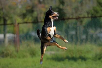 Entlebucher Mountain Dog, Laughing Dog,nickname,Entle