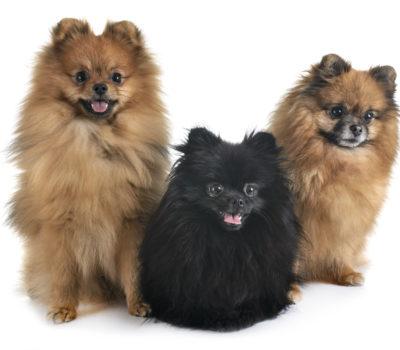 collective noun, Pug, Pomeranian, Greyhound