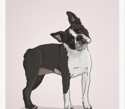 Boston Terrier, Boston Terrier Club of America