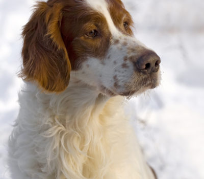 red and white irish setter,color,marking