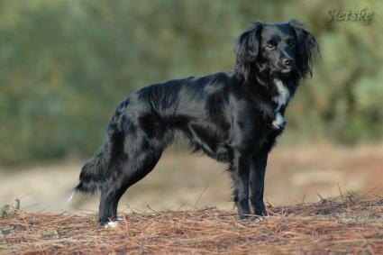 Markiesje,Dutch Tulip Dog,