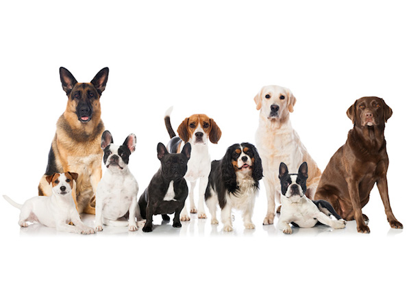 top ten, dog breeds