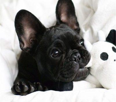 French Bulldog,color,breeder, standard