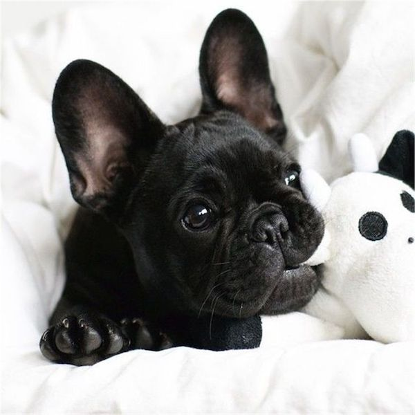 French Bulldog,color,breeder, standard