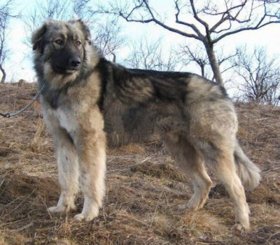 Carpathian Shepherd Dog,Fauna & Flora International,Carpatin Club Romania,Ciobănesc Românesc Carpatin