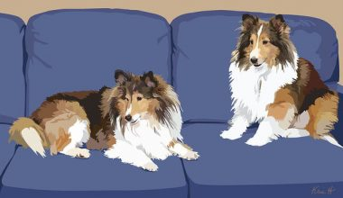 Shetland sheepdog, toonie, sheltie
