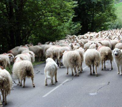 Great Pyrenees, sheep, LGD, Livestock Guardian Dog, pastous,patous