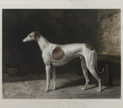 Greyhound,King Cob, coursing