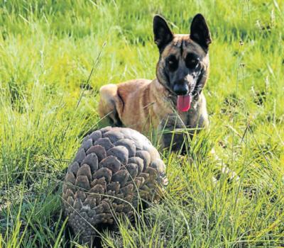 Belgian Malinois, English Springer Spaniel, pangolin, conservation dog, ecology dog
