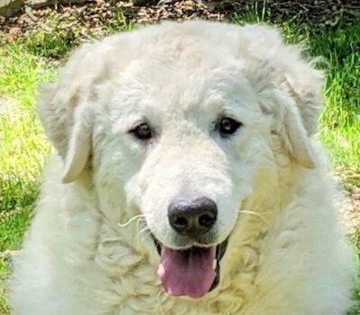 Kuvasz, LGD,Livestock Guardian Dog