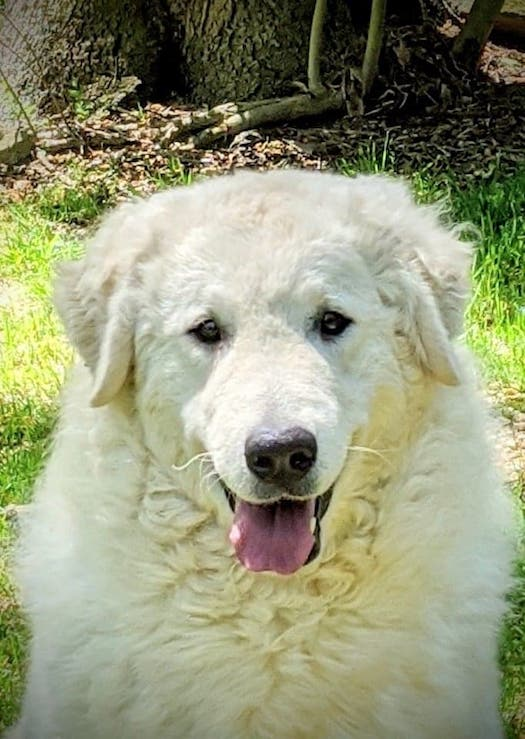 Kuvasz, LGD,Livestock Guardian Dog