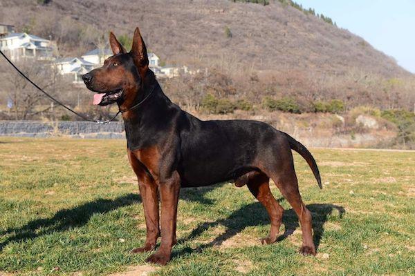 Laizhou Hong, Chinese Red Dog