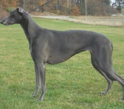Greyhound, color, blue,coat