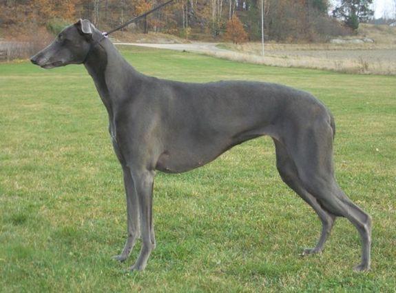 Greyhound, color, blue,coat