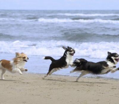 Race, Chihuahua