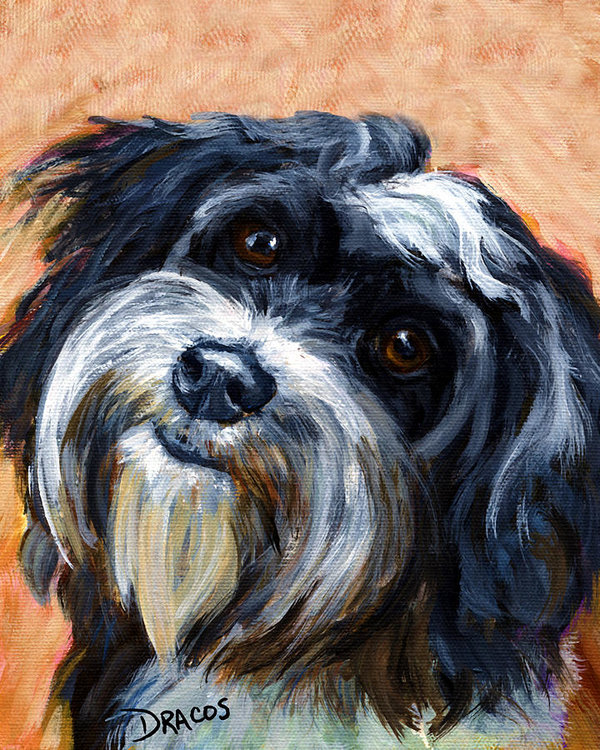 Havanese, points, coat, color,