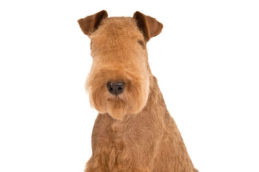 mood, Irish Terrier, standard,