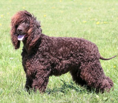Irish Water Spaniel, puce, color, term,